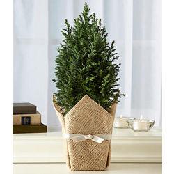 Cypress Honor Tree