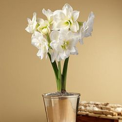 Let It Snow Amaryllis Bulb