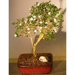 Flowering Snow Rose Serissa Small Bonsai Tree