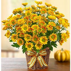 Fall Mum Plant in Basket Planter