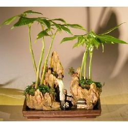 Money Bonsai Tree with Rock Landscape