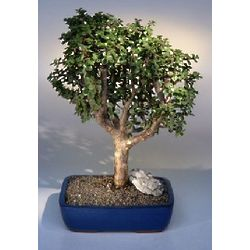 Extra Large Baby Jade Bonsai Tree