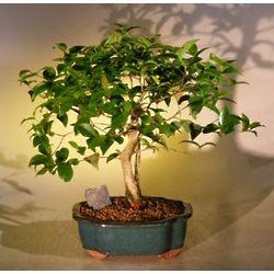Surinam Cherry Bonsai Tree
