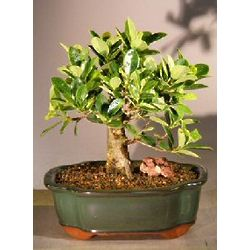 Green Island Ficus Bonsai Tree