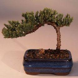 Small Juniper Bonsai Tree