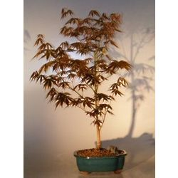 Large Japanese Red Maple Bonsai Tree